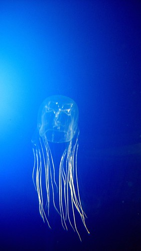 Rachael Shardlow got stung by a box jellyfish like this and survived.