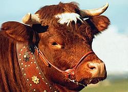 La vache évolénarde