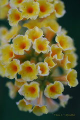 Pirates Gold (aplseed photography) Tags: flowers summer macro dof blooms mygarden soe naturesbest 2007 sigma50mm naturesfinest simplythebest supershot supershots shieldofexcellence anawesomeshot diamondclassphotographer fickrdiamond spectacularelite