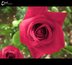 2 O . l O . 2 O l O (3    d ) Tags: pink flower macro green nature closeup canon warda   bookeh