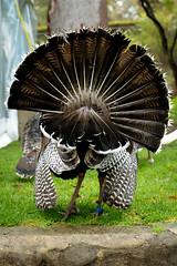 Giving the Bird (Visual Clarity Photography) Tags: bird turkey zoo spring nikon october au sydney australia adobe nsw newsouthwales nikkor 2010 tarongazoo lightroom mosman 2088 gp1 capturenx d700 capturenx2 70200mmf28gvrii nikkor70200mmf28gvrii lightroom32 7002988