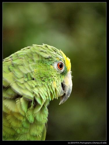 Yellow-headed Amazon Parrot (Amazona oratrix)