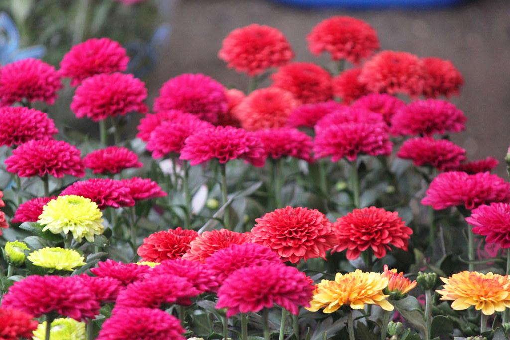 Yanaka Chrysanthemum Festival (8)