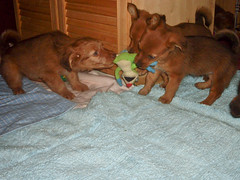 Hunde - 57 (Manfred Lentz) Tags: pets dogs puppy pups puppies hunde littledogs welpen hndchen babydogs whelps