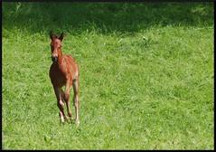 Foal (KatharinaJeger) Tags: horse animal pferd haustier tier ballenberg foal fohlen