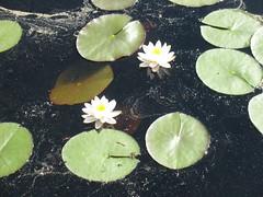 Lumpeet (valonsa) Tags: flowers summer water june pollen vesi kesä kesäkuu kukat siitepöly lumpeet 96106 whitewaterlilys