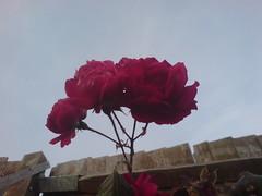 K800i - Rose