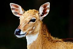 Portrait (kktp_) Tags: portrait thailand nikon searchthebest bangkok deer fallowdeer 70200mmf28gvr d80 flickrsbest specanimal notselfportrait animalkingdomelite abigfave shieldofexcellence superaplus aplusphoto tamronspaf14x