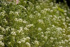 _MG_5352.jpg (dickysingh) Tags: flowers wild india macro nature flora outdoor wildlife aditya uttaranchal singh dicky uttarakhand ranthambhorebagh lesserhimalayas adityasingh dickysingh ranthamborebagh theranthambhorebagh wwwranthambhorecom