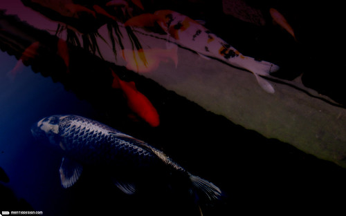koi wallpaper. [WALLPAPER] Koi (Carp)