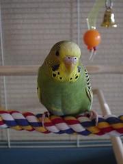 littlehollysquawkamolecere01 (PhotoPieces) Tags: bird budgie parakeet ilovebirds