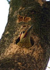 Green-barred woodpecker, Pica-pau-verde-barrado, Colaptes (chrysoptilus) melanochloros (Bertrando) Tags: nature birds animals wildlife aves birdwatcher picidae greenbarredwoodpecker colaptesmelanochloros picapauverdebarrado chrysoptilusmelanochloros picapaudecampo