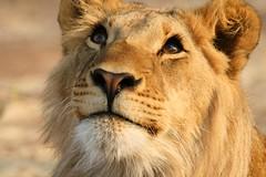 leone - lions (peo pea) Tags: africa portrait nature animals cat wildlife lion natura falls lions zimbabwe vic victoriafalls leone ritratto animale naturalmente impressedbeauty lifebeautiful cascatevittoria peopea wwfita flickrbigcats