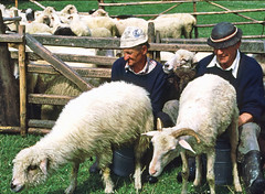 Milking sheep in Poland