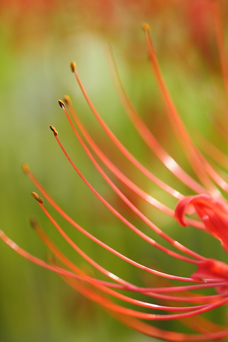 Cluster amaryllis by 5D-4