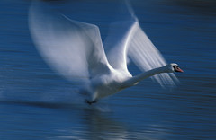 motion blurred swan taking off from water (V