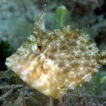 IMG_5431acrre Planehead Filefish (Stephanolepis hispidus) thumbnail