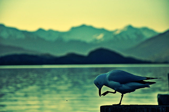 bird at wanaka lake