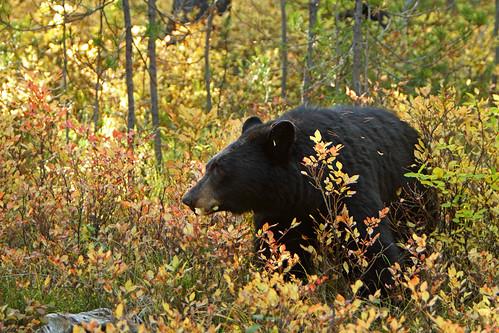 """Female """"mother"""" Black Bear .........3"""