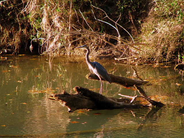 Crane at Dodson Branch