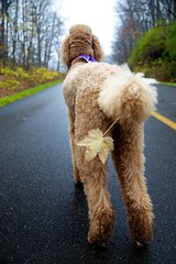 Maple Tail (Perry McKenna) Tags: canon maple hike spoo cooper mapleleaf gatineaupark standardpoodle 4yearsold apricotpoodle redpoodle bornonhalloween 5dmkii fortuneparkway hesalittleofboth parkclosedfortheseason soonwillbeskitracks