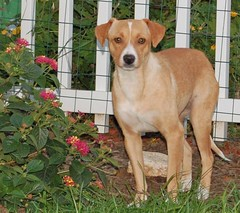 Adopt Lola, the beagle - feist mix, from Paws N' Time Rescue! (Rob Swatski) Tags: york rescue dog beagle md time pennsylvania lola maryland pa foster lancaster pup paws adopted adopt feist harrisburg adoption fosterdog petfinder swatski pawsntime