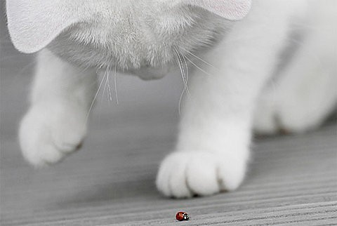 fofo,di,mais,animals,cat,cute,ladybug,photo-991452750a9f8c0fd5bedf091fa3e6e0_h_large / DD