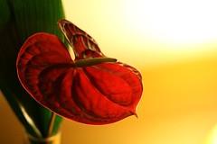 Anthurium (Peter Denton) Tags: red nature crimson catchycolors leaf houseplant canonef50mmf18 anthurium arum araceae aroid indoorplant flamingoflower spadix tailflower lifeisart niftyfifty canoneos400d ©peterdenton boyflower