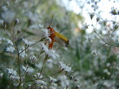 (dvaena) Tags: flowers summer beetle dsch2