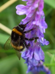 Bumble-bee (sillie_R) Tags: macro insect bumblebee naturesfinest jalalspagesnaturealbum
