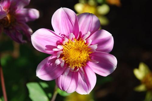Good Morning Flower   originally uploaded by carolfoasia  Goodmorning Image Flower