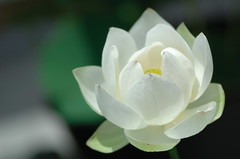 White lotus flower (kaycatt*) Tags: flowers white flower macro soe excellence tamron90 whitecolors abigfave