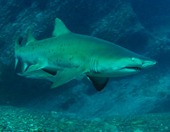 Grey Nurse Shark, Batemans Marine Park (Environment + Heritage NSW) Tags: fish water shark marine underwater conservation australia sealife newsouthwales environment aquatic greynurseshark batemansmarinepark