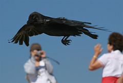 Raven Fly By (4Durt) Tags: bird grandtetons blackbird photodomino475 photodomino708