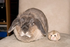 "*fume* ""i don't like having a hamster looking cuter beside me..."" (jade_c) Tags: pet rabbit bunny animal mammal rodent singapore pudding hamster winterwhite opal grumpy   dwarfhamster minttea hollandlop andora  lagomorph  opalhollandlop disapprovingrabbit"