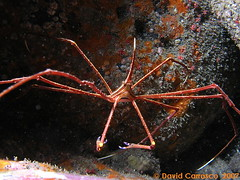 p1015077wg4 (coismarbella) Tags: mergulho dive scuba diving buceo submarinismo tauchen plonge crustaceos canariasbuceo