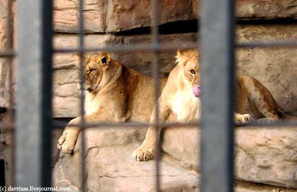 minsk_zoo_lions