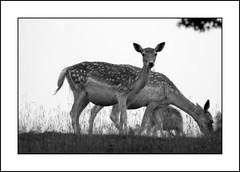 Evening time (Linda Cronin) Tags: blackandwhite grass animal kent interestingness deer explore fallowdeer knolepark naturesfinest supershot challengeyouwinner 3waychallengewinner impressedbeauty superbmasterpiece beyondexcellence lindacronin naturewatcher friendlychallenges