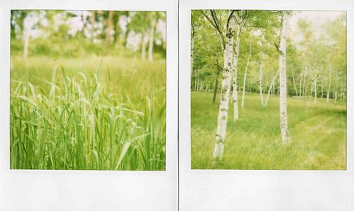 grass birch