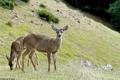 Muledeer (Michel Mintaka) Tags: brown green animals eating deer mttam tamalpais grazing anawesomeshot