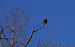 "Bald Eagle on the Fraser FRS • <a style=""font-size:0.8em;"" href=""http://www.flickr.com/photos/51193137@N08/4721910717/"" target=""_blank"">View on Flickr</a>"