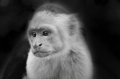 (Matat Levin Photography) Tags: portrait blackandwhite bw nature animal closeup digital photoshop monkey nationalpark nikon costarica close retrato levin d90 whitefacedmonkey matat nikond90 matatlevin