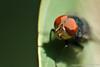 Mosca-varejeira (rafaelhabermann) Tags: varejeira oestridae moscadacarne beronha moscadebicheira moscavareja moscavarejeiramoscascalliphoridae sarcophagidaeinsetosdípterosvarejabiru moscasdoberneoumoscasberneirasdermatobiahominislarvalmoscasgrandetamanho ovopositorparasitamiíase afecçãoparasitáriadermatobiahominisberne miíasenodularcutâneacochliomyiahominivoraxbicheiraectoparasitas