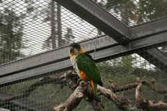 Grünzügelpapagei / green parrot
