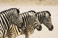 Three Zebra ([guillaume]) Tags: animals canon wildlife zebra animaux namibia etosha namibie zebre eos1000d