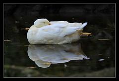 Fringe (Jashir) Tags: parque reflection canon duck spain gijón asturias pato reflejo asturies isabellacatólica 50d canonef100400mmf4556lisusm canoneos50d