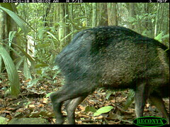 Collared Peccary (siwild) Tags: pigs panamacanal collaredpeccary pecaritajacu geo:lon=915816 taxonomy:common=collaredpeccary taxonomy:group=pigs sequence:index=97 file:name=img0573jpg siwild:plot=70 siwild:trigger=132064 siwild:date=201001180956020 siwild:imageid=1136174 file:path=dpicsrunsticksbcibarbour1219img0573jpg taxonomy:species=pecaritajacu siwild:study=panamacanalmammalsurvey siwild:Rank=0 siwild:studyId=panamammal geo:locality=panama siwild:location=2322 siwild:camDeploy=1802 sequence:id=65064 sequence:length=110 sequence:key=55 siwild:species=22 siwild:region=panama BR:batch=sla0620101121083839 geo:lat=79832444