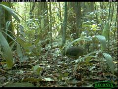 Great Tinamou (siwild) Tags: panamacanal greattinamou tinamusmajor largebirds geo:lon=915816 taxonomy:common=greattinamou taxonomy:group=largebirds file:name=img0157jpg sequence:index=6 sequence:length=10 siwild:plot=70 siwild:study=panamacanalmammalsurvey siwild:Rank=0 siwild:studyId=panamammal geo:locality=panama taxonomy:species=tinamusmajor siwild:location=2322 siwild:camDeploy=1802 siwild:trigger=132023 sequence:id=65046 siwild:date=201001151511030 siwild:imageid=1135763 file:path=dpicsrunsticksbcibarbour1219img0157jpg sequence:key=5 siwild:region=panama BR:batch=sla0620101121083839 siwild:species=128 geo:lat=79832444