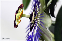 Passionflower. (Margot) Tags: garden spring seasons passiflora passionflower soe flowerotica passibloem abigfave margotpouw anawesomeshot ultimateshot margot