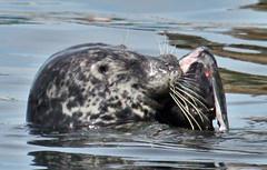 seal_eat